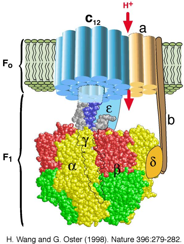ATP-motor