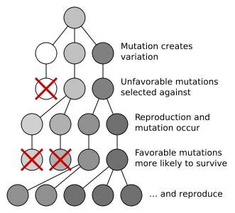 bf088717 Over tid går det greit å bli kvitt dominante mutasjoner. I slike tilfeller  pleier en si at det naturlige utvalg har en 'konserverende effekt'.