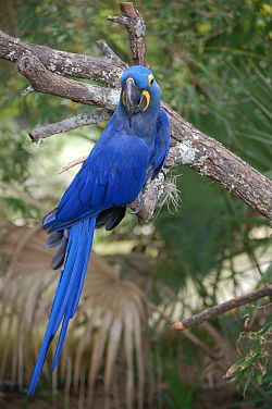 Papegøye i australsk dyrehage