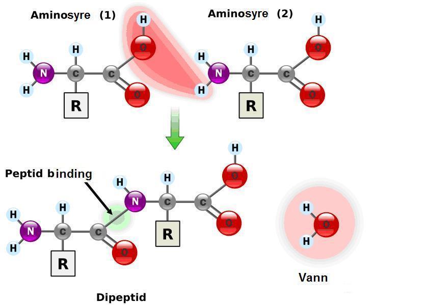 aminorsyrer