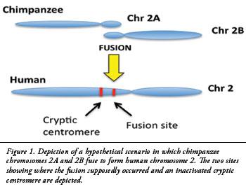Kromosom 2-fusjon