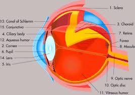 øyets deler