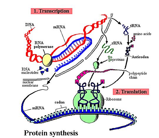 protein-syntese